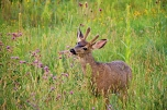 Deer eating clover WEB