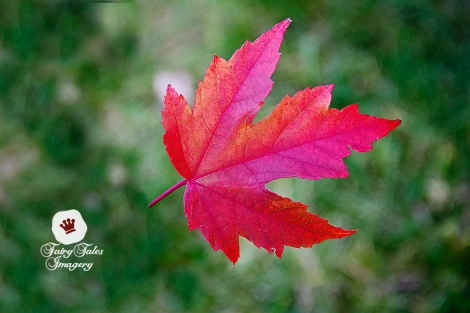 close-up-fall-red-leaf-2-web